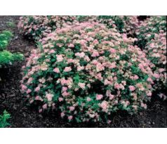 "Tavolník "" Little Princess ""(Spiraea japonica)"