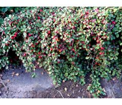 Cotoneaster x